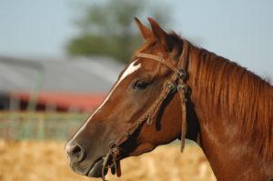 foto hoofd van een bruin paard